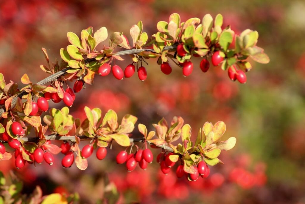 Berberine Use in cancer and side-effects