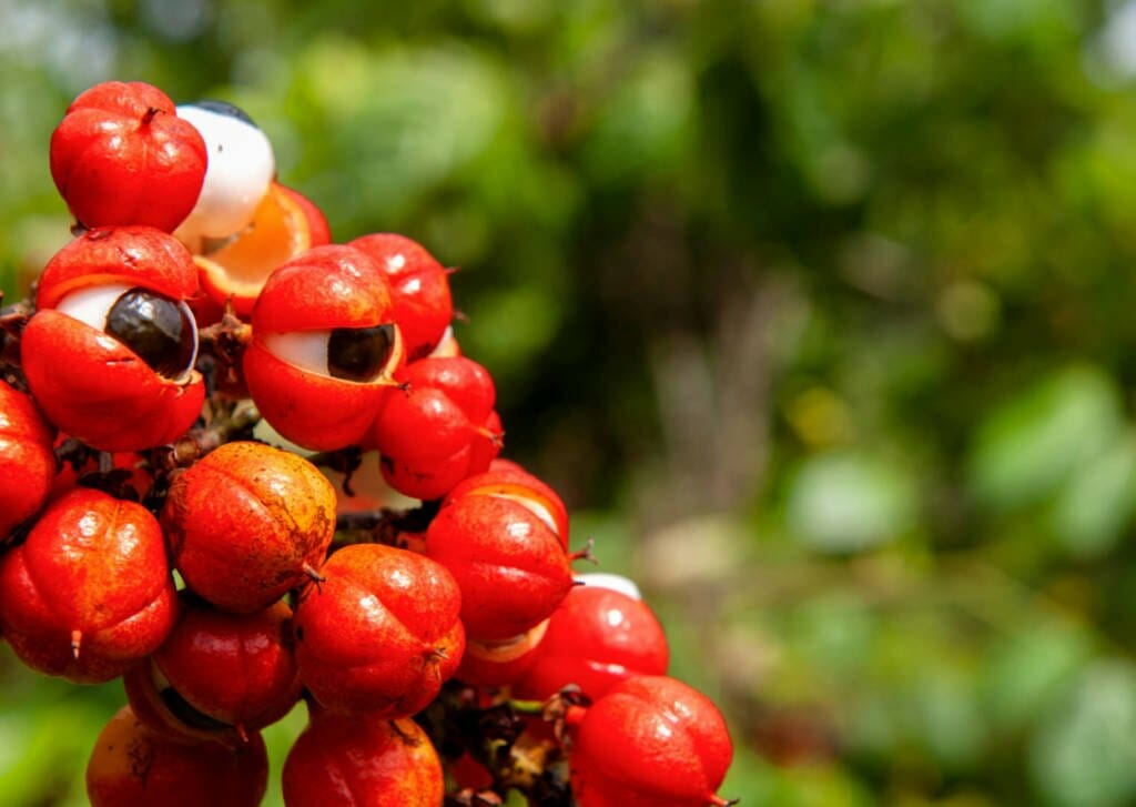 guarana fruit, seeds, extract containing caffeine- health benefits, side-effects and use in cancer