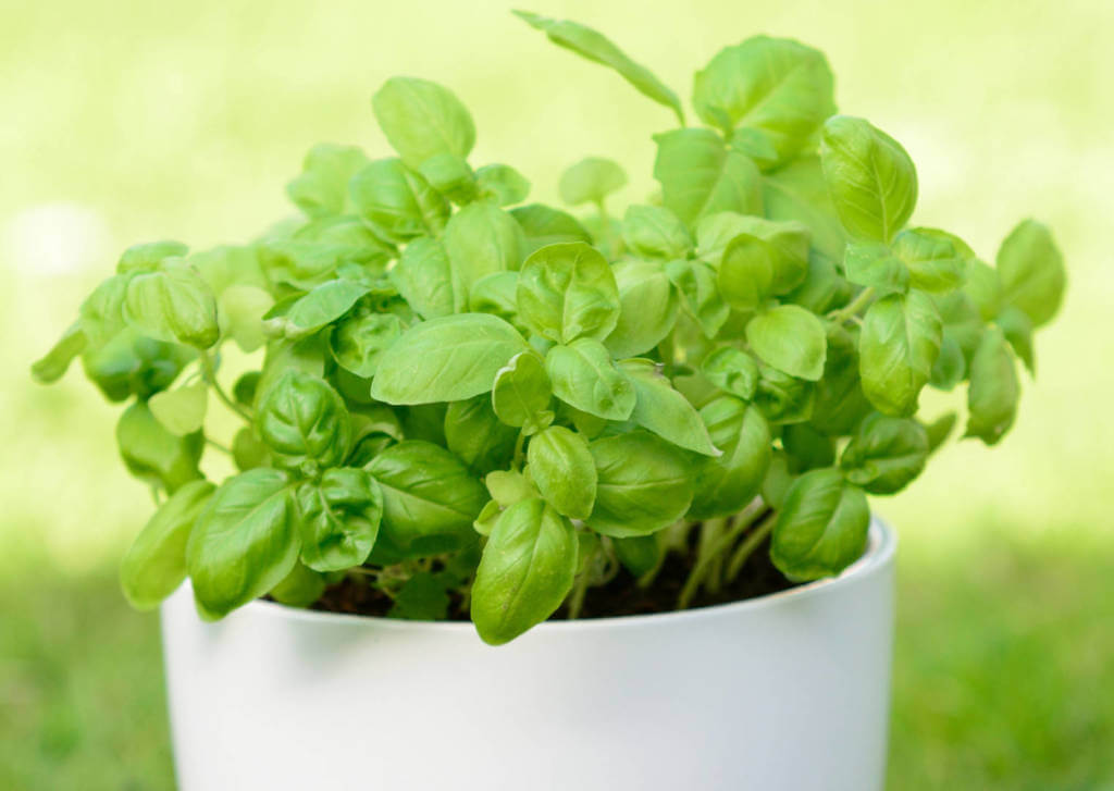 Basil Supplements for Cancer Treatment and genetic Risk