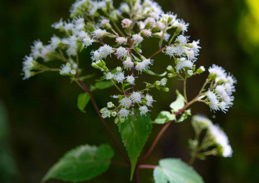 Boneset Supplements for Cancer Treatment and genetic Risk