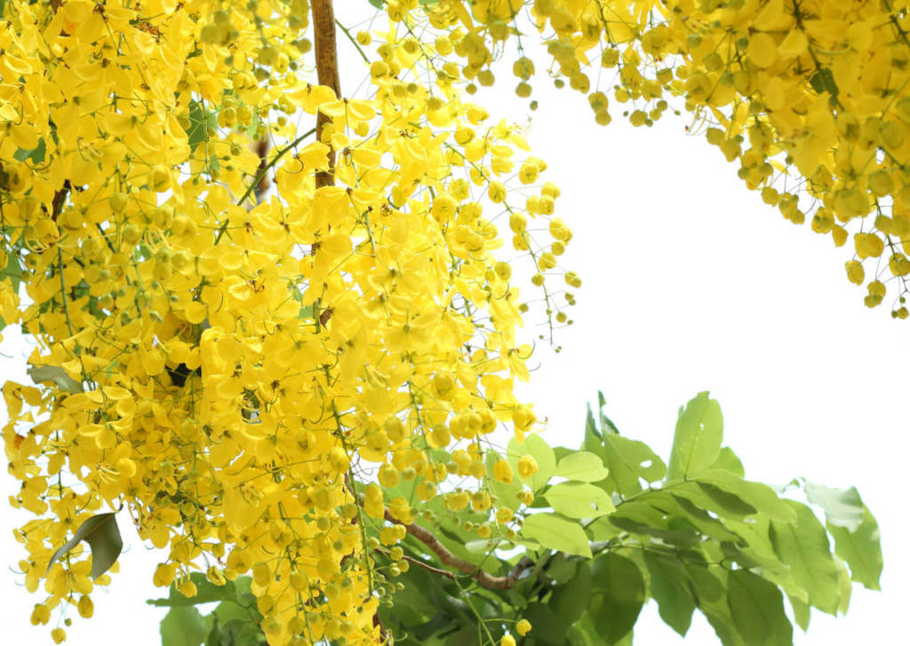 Cassia Fistula Supplements for Cancer Treatment and genetic Risk