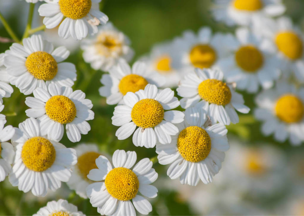Feverfew Supplements for Cancer Treatment and genetic Risk