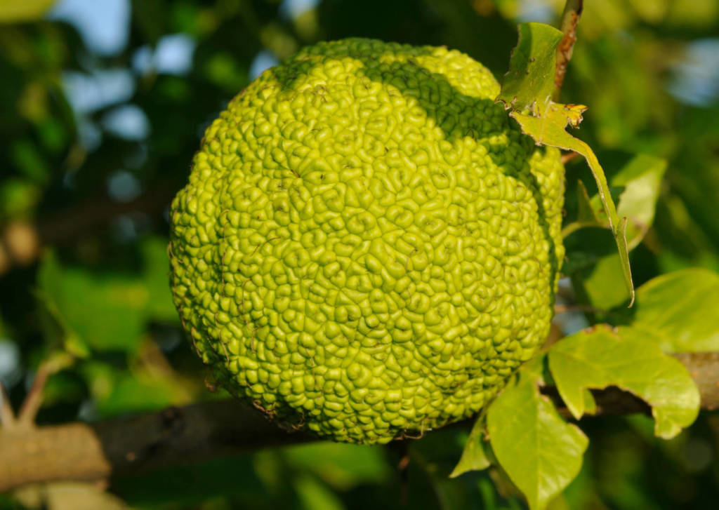 Maclura pomifera Supplements for Cancer Treatment and genetic Risk