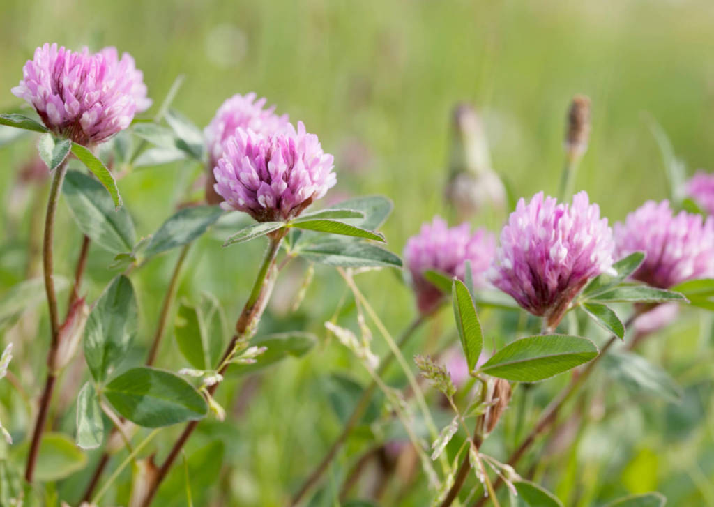 Red Clover Supplements for Cancer Treatment and genetic Risk