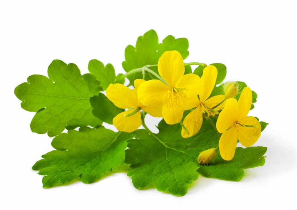 Celandine Supplements for Cancer Treatment and Genetic Risk