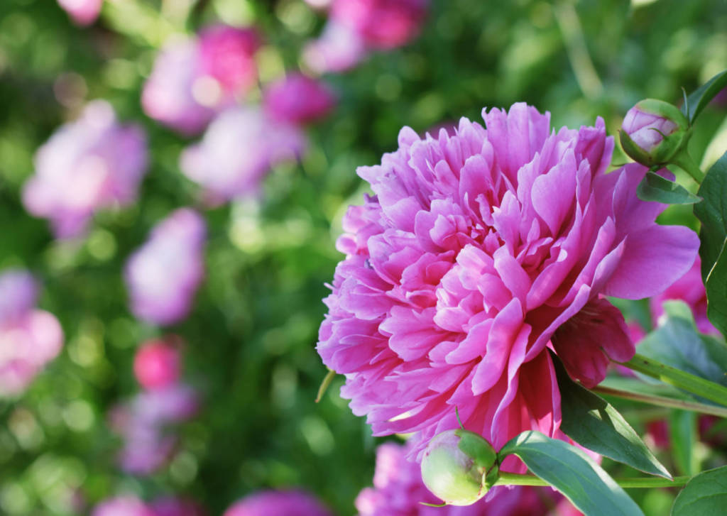 Peony Supplements for Cancer Treatment and Genetic Risk
