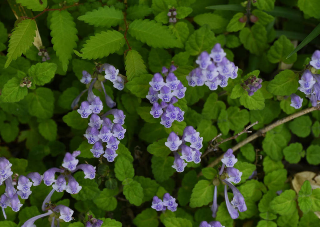 Skullcap Supplements for Cancer Treatment and Genetic Risk