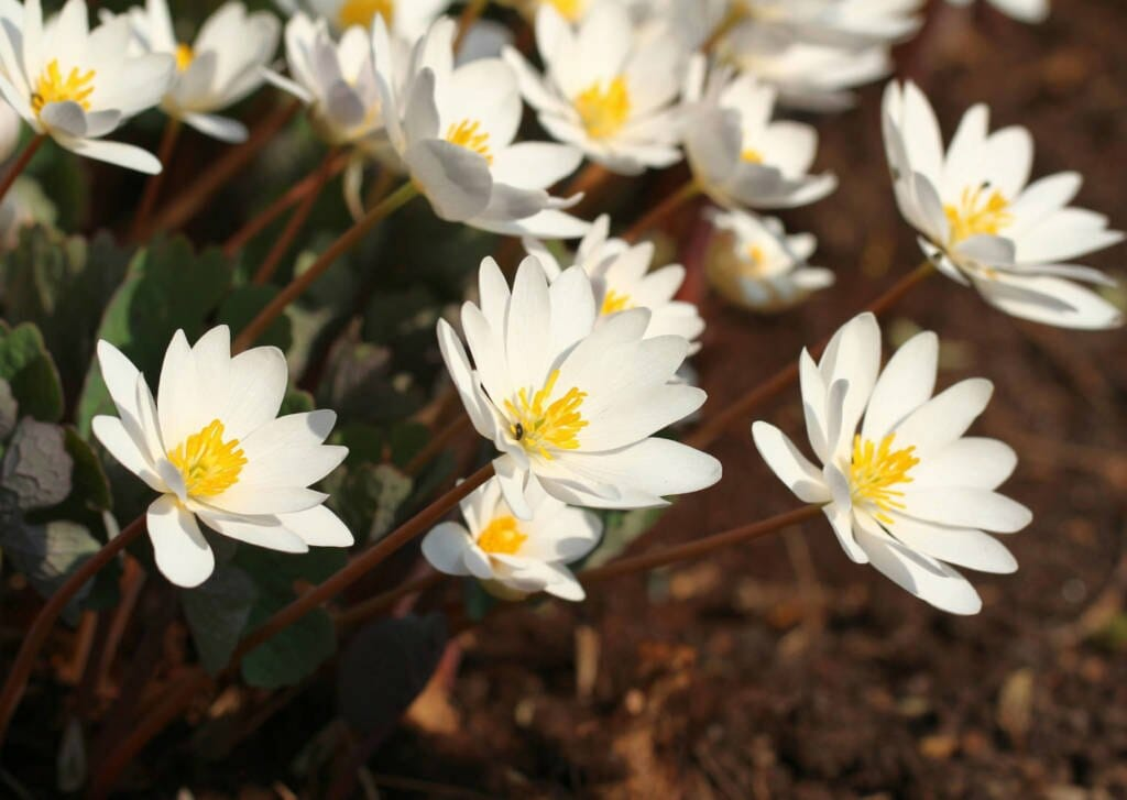 Bloodroot Supplements for Cancer Treatment and Genetic Risk