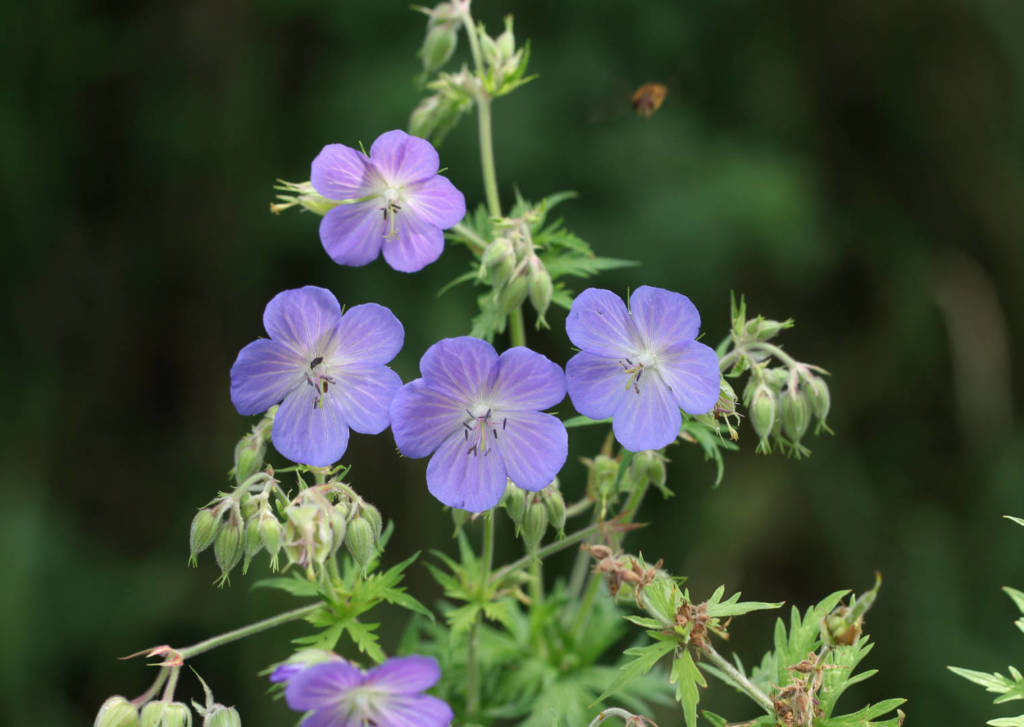 Cranesbill Supplements for Cancer Treatment and Genetic Risk