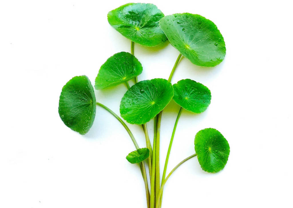Gotu Kola Supplements for Cancer Treatment and Genetic Risk
