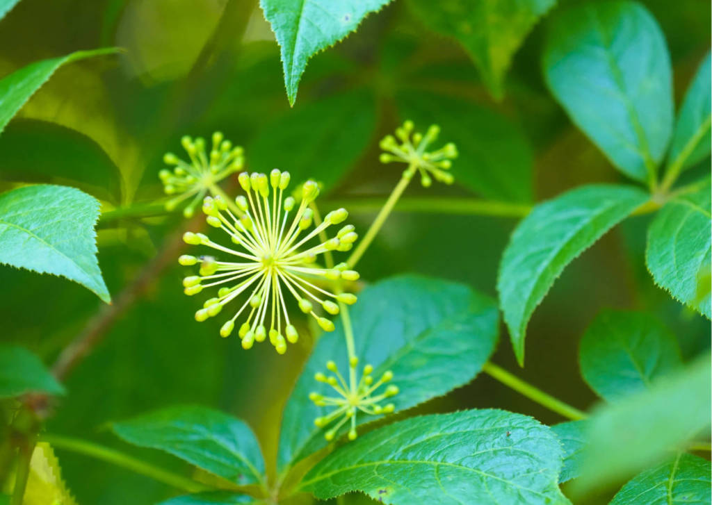 Eleuthero Supplements for Cancer Treatment and genetic Risk