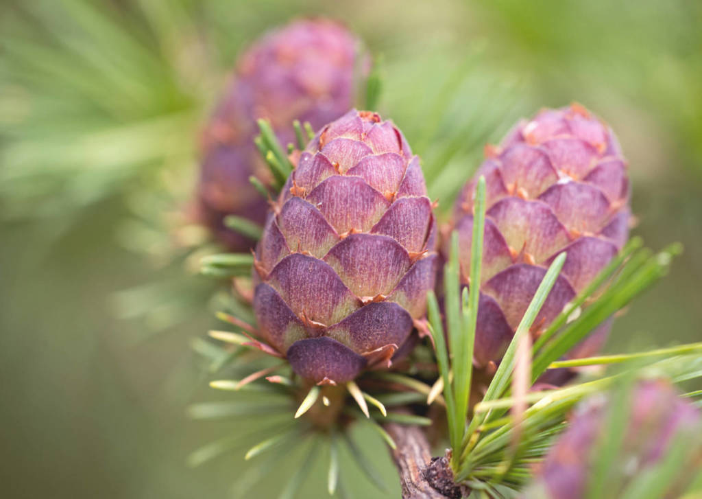 Larch Supplements for Cancer Treatment and Genetic Risk