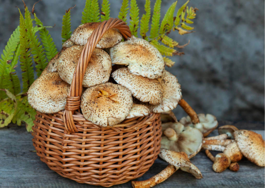 Agaricus Mushroom Supplements for Cancer Treatment and Genetic Risk