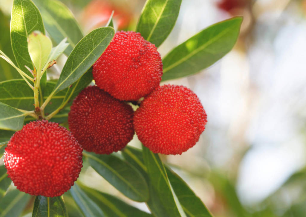 Bayberry Supplements for Cancer Treatment and Genetic Risk