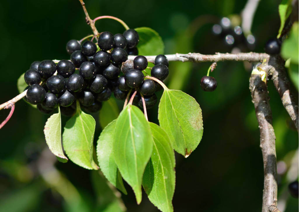 Buckthorn Supplements for Cancer Treatment and genetic Risk