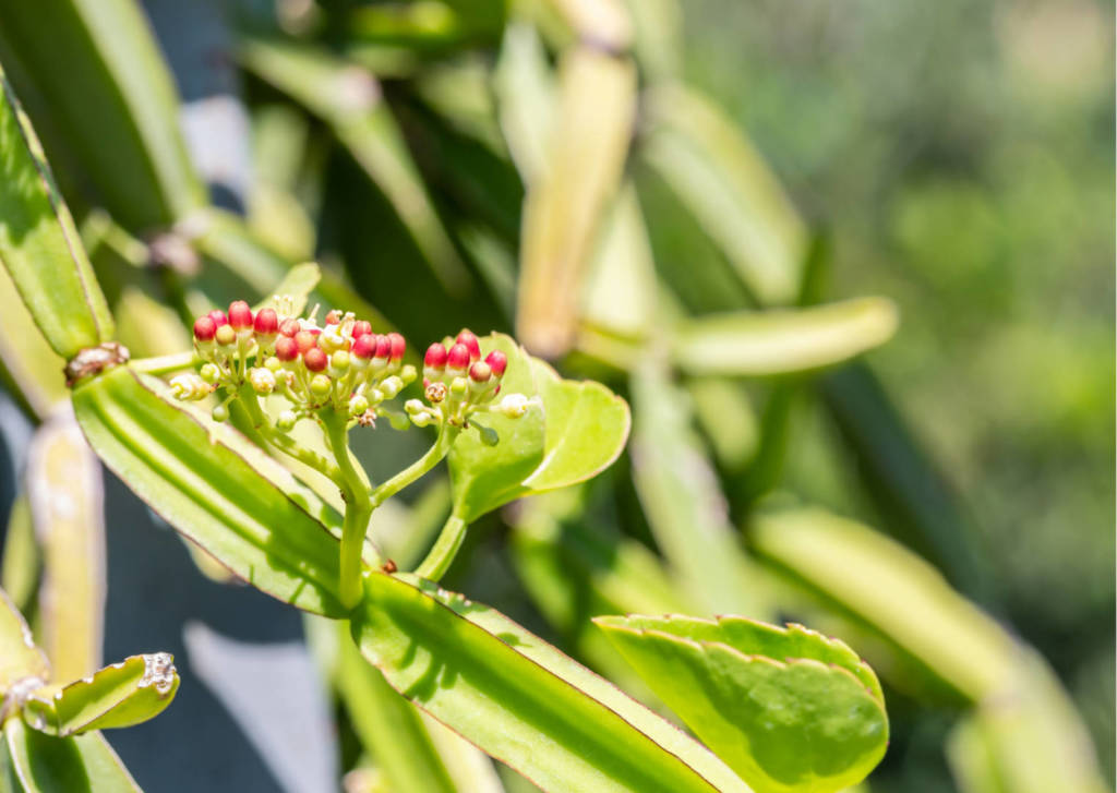 Cissus Supplements for Cancer Treatment and genetic Risk