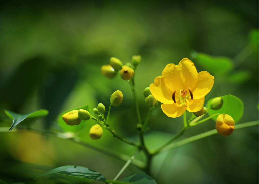 Senna Supplements for Cancer Treatment and genetic Risk