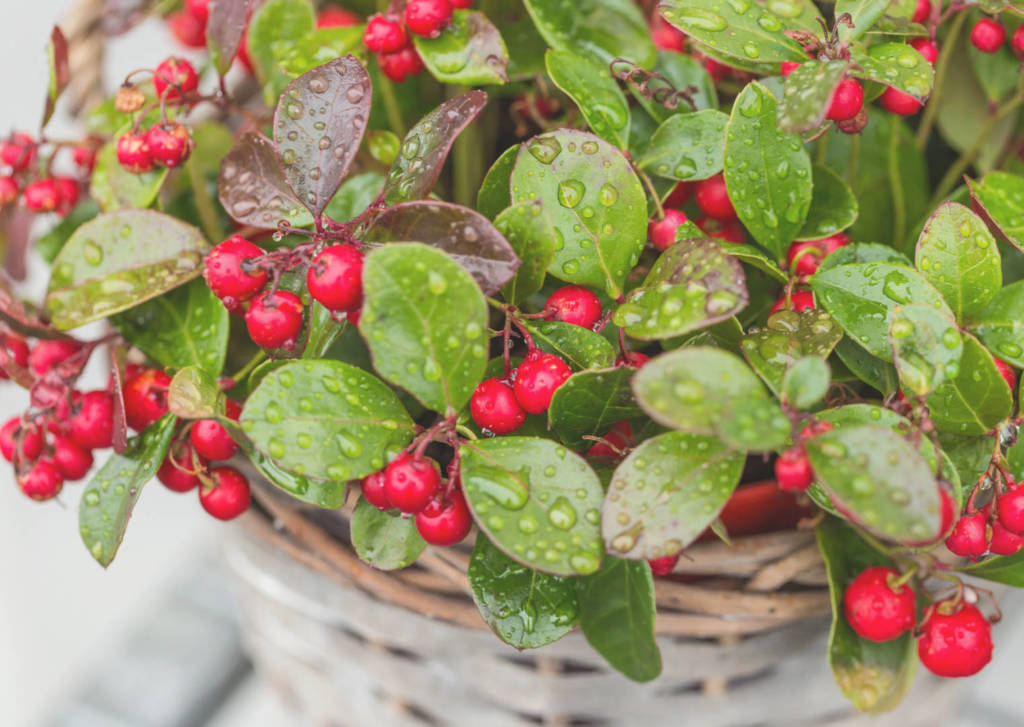 Wintergreen Supplements for Cancer Treatment and Genetic Risk