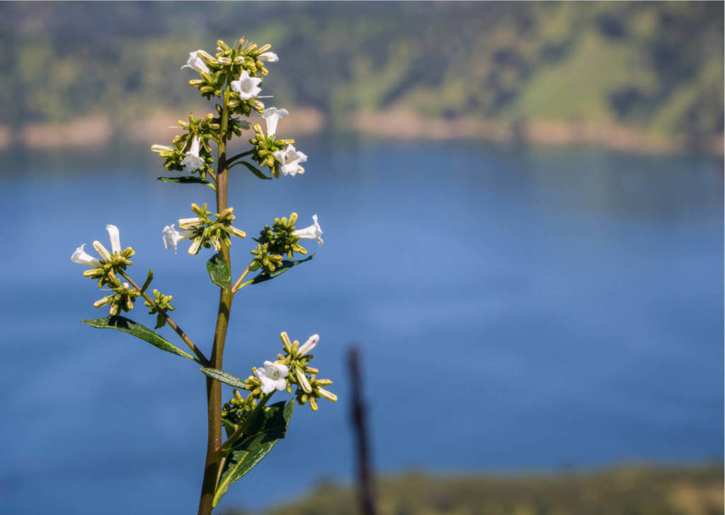 Yerba Santa Supplements for Cancer Treatment and Genetic Risk