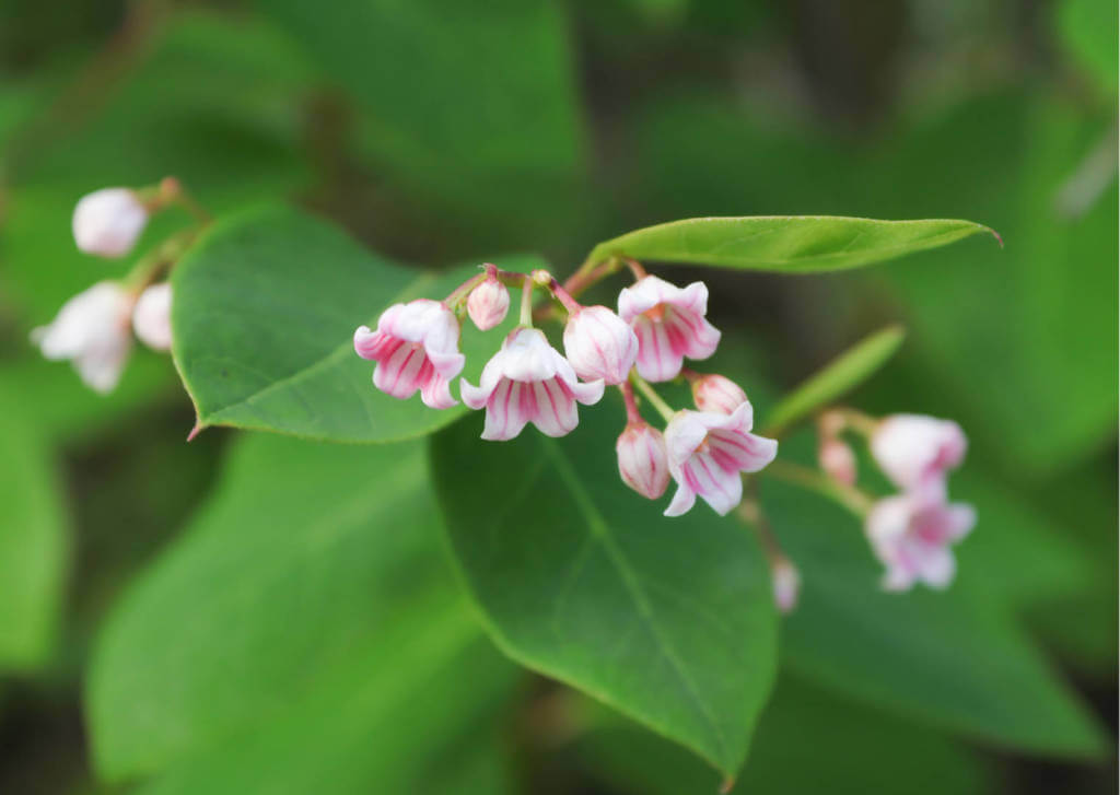 Luobuma Supplements for Cancer Treatment and Genetic Risk