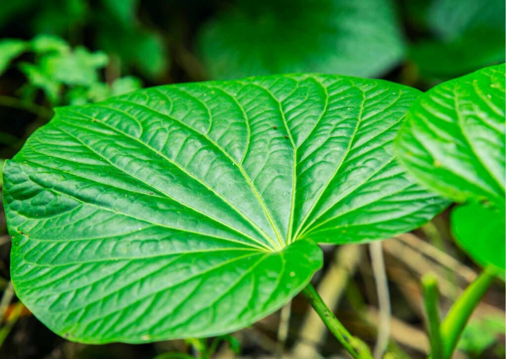 Kava Supplements for Cancer Treatment and Genetic Risk